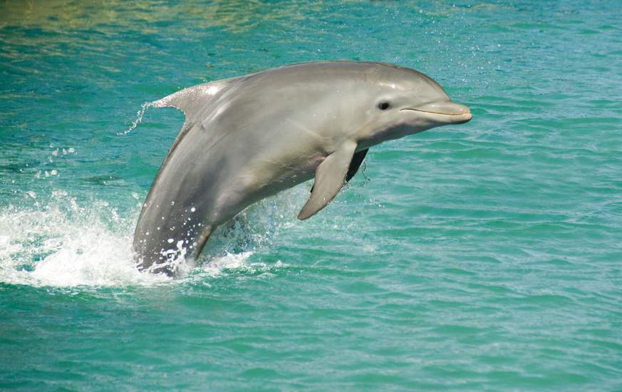 Dolphin Play Around Sanibel Island
